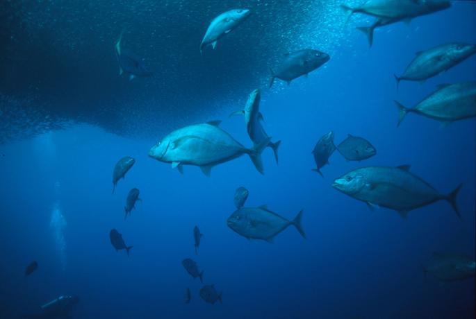 moalboal sardines